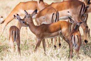 jeune bébé impala se dresse et regarde d'autres antilopes dans un photo