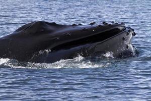 tête de baleine à bosse au large des côtes de l'Antarctique 1