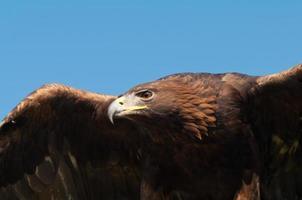 gros plan de l'aigle royal
