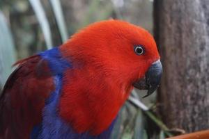Vue latérale du perroquet éclectus rouge et bleu photo