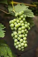 raisin aspergé de pesticides