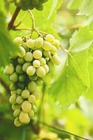raisin de juteux muscat délicieux. abstrait de l'agriculture photo