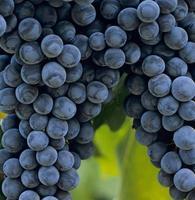 grappes de raisins de cuve photo