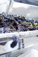 raisins entrant dans la machine de fouloir-broyeur