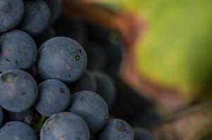 raisin rouge sur la vigne photo