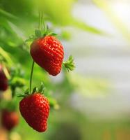 fraise photo