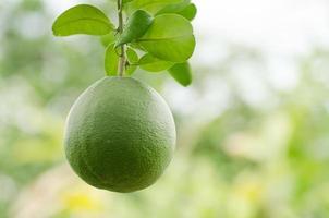 fruit de pomelo photo