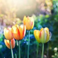 tulipes floues fleurissent en fleur. photo