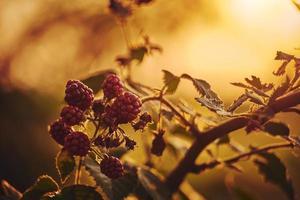 framboises sur un buisson photo