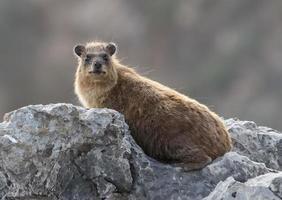 hyrax de roche