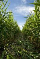 Labyrinthe de maïs photo