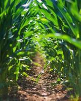 ligne de champ de maïs photo