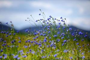 fleurs de maïs en été photo