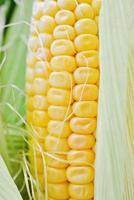 gros plan de maïs sucré