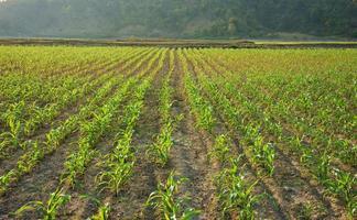 rangée de gaules sur champ de légumes