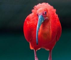 ibis écarlate