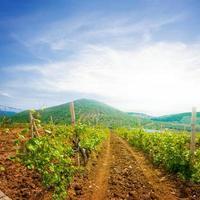 vallée de la vigne d'été photo