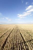 paysage d'été (champ de maïs)