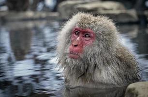 singes japonais dans une source chaude photo