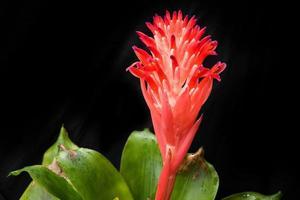 fleur de broméliacée