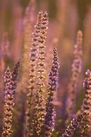fleurs de salvia pourpre au coucher du soleil avec rayon lumineux. photo
