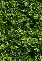 feuilles de céleri photo