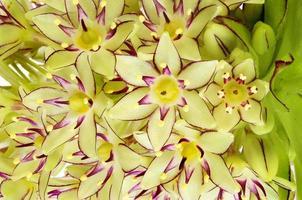 Gros plan de fleurs d'ananas