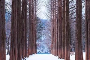 île de nami, rangée de pins. photo