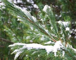 branches de pin d'hiver