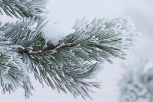 sapin en hiver photo