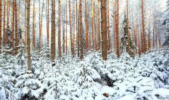 forêt de pins, hiver, neige