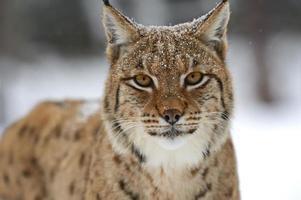 lynx d'hiver