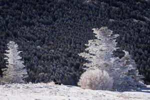 sapins fraser d'hiver photo
