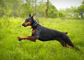 chien qui court photo