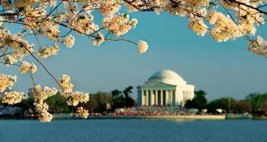 cerisiers en fleurs à washington dc photo