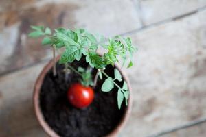 plant de tomate photo