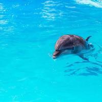 Les dauphins nagent dans la piscine en gros plan photo