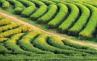 changement de plantation de thé ri au nord de la thaïlande.