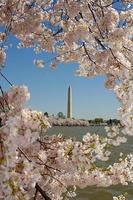 fleurs de cerisier encadrent le monument de washington photo