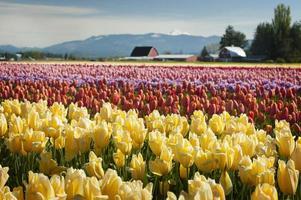 champs de tulipes au printemps photo