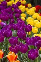lit de tulipes photo