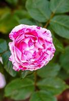 rose parfumée en pleine floraison photo