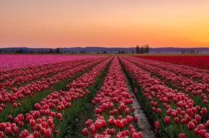 coucher de soleil dans les champs de tulipes de la vallée de skagit