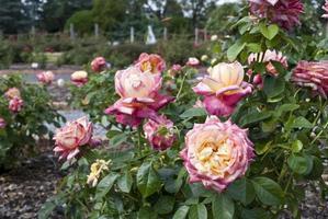 roses roses et jaunes