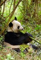 panda géant mangeant du bambou photo