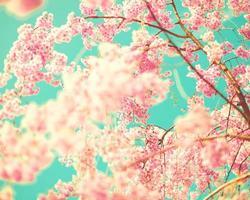 fleurs de cerisier roses