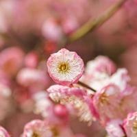 floraison des prunes au printemps