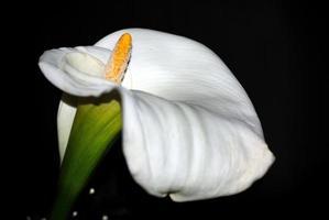 flor cala blanca