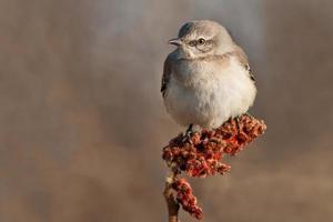 oiseau moqueur du Nord photo