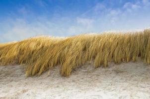 l'avoine de plage comme protection des dunes photo